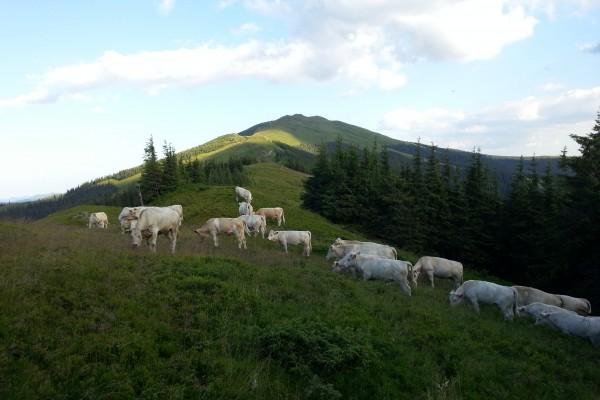 Bovine din rasa charolaise pe pasunile din Bucovina