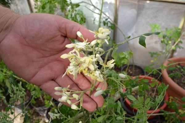 Așa arată florile de Moringa