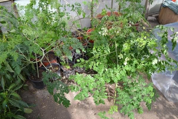 Câteva exemplare experimentare de Moringa Oleifera, la Buzău