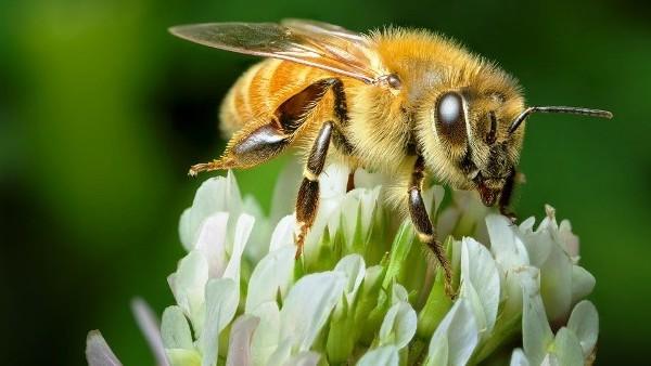Mierea Manuka e produsă doar în Noua Zeelandă și Australia