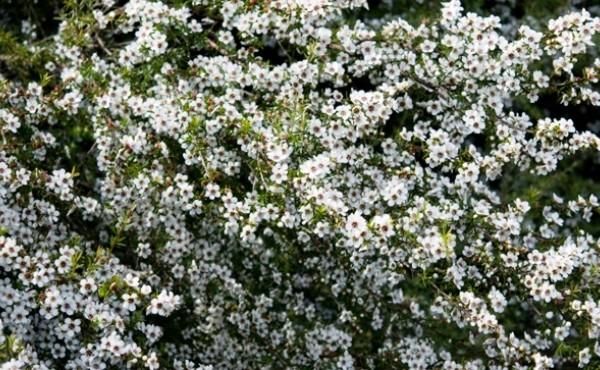 Așa arată arborele de Manuka din polenizarea căruia se obține mierea-medicament