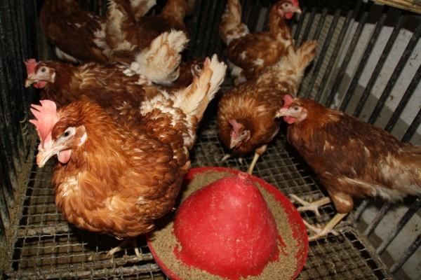 Găini din lotul martor, care urmează o dietă normală