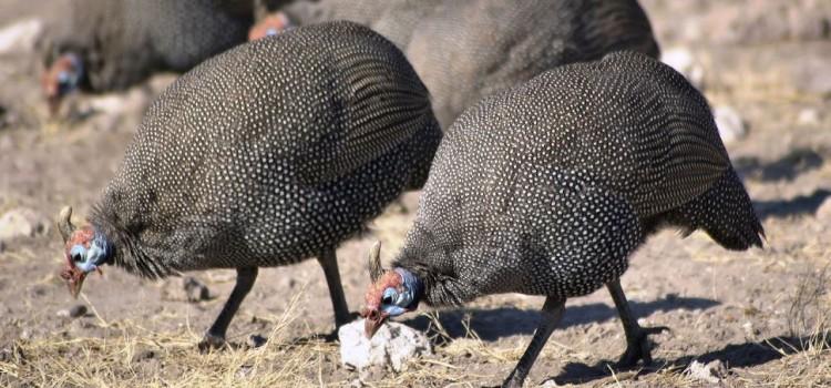 Carne de bibilică sau de găină? Cea de bibilică nu poate fi tratată cu hormoni sau antibiotice, majoritatea acestor păsări crescând în aer liber