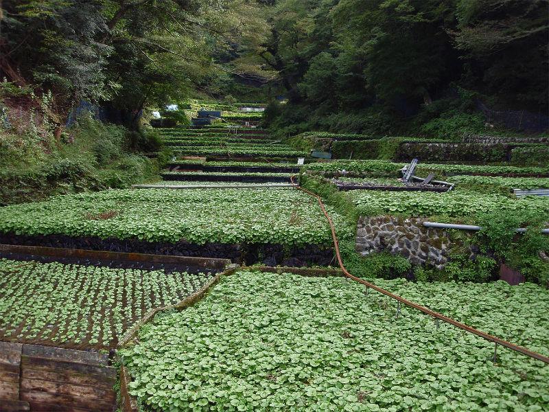 Cultură de wasabi în Japonia