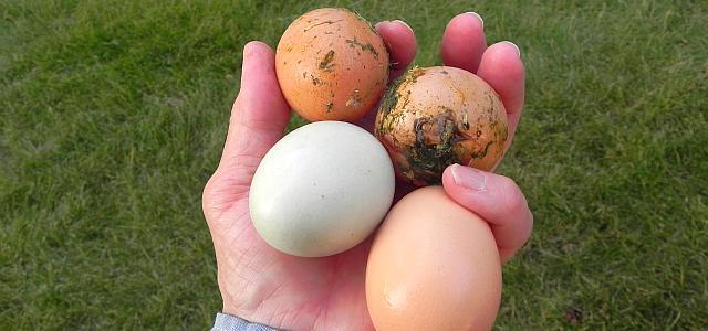 Spălăm sau nu spălăm ouăle de țară?